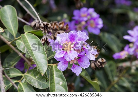 Pink lagerstroemia speciosa flowers