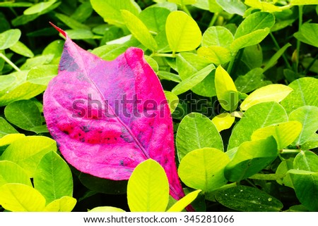 Pink leaf  with green leaf blurry background:select focus with shallow depth of field:macro shot:ideal use for background. - stock photo