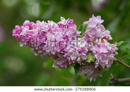 Pink lilac flower in bloom in May - stock photo