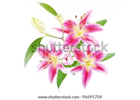 Pink lilies - stock photo