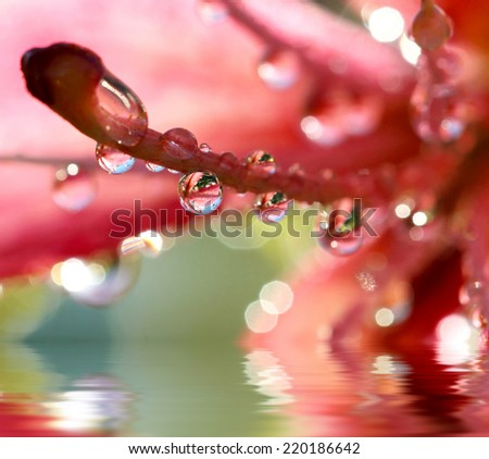 Pink lilies after the rain with drops of water, selective focus, macro. Photo improved reflection in water   - stock photo