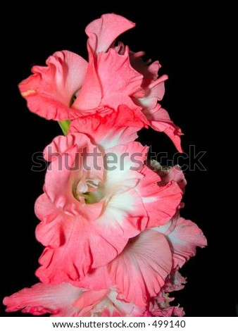 Pink Lilly - stock photo