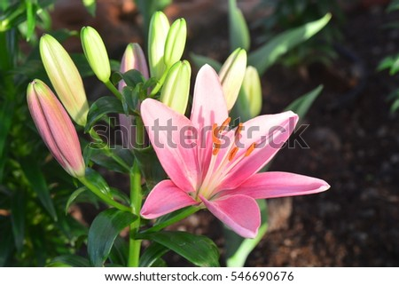 lilly flower stock images, royaltyfree images  vectors, Beautiful flower