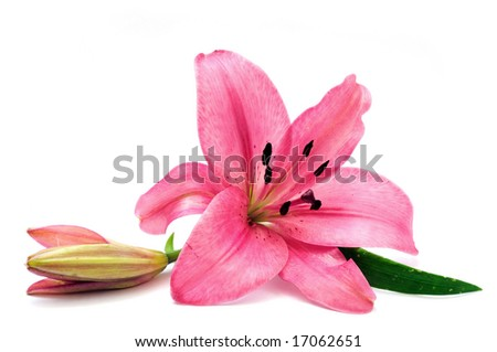 Pink lily - stock photo