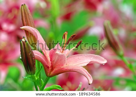 Pink lily blossom in summer garden - stock photo