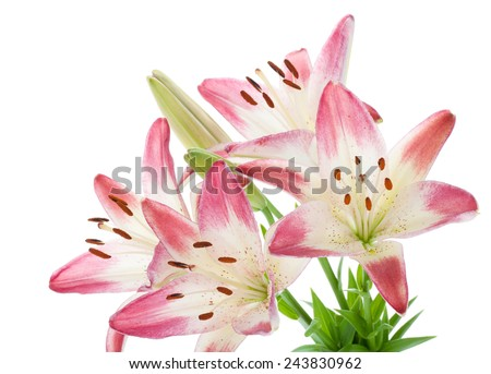 Pink lily bouquet. Isolated on white background