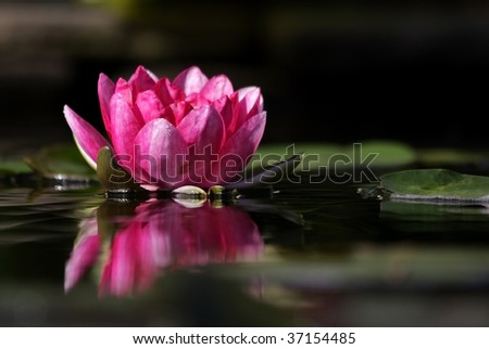 Pink lily floating on the water with reflections - stock photo