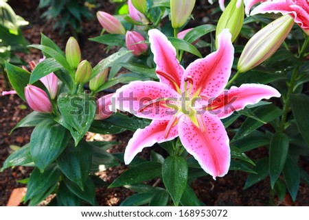 Pink lily flower - stock photo