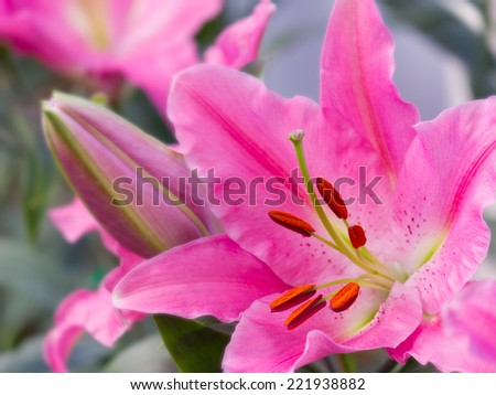 pink lily flower in garden - stock photo