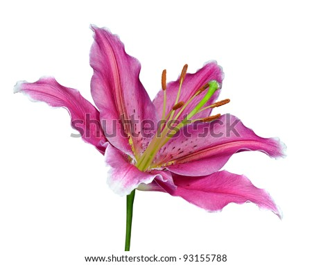 Pink Lily Flower on a Green Stick Isolated on White Background - stock photo