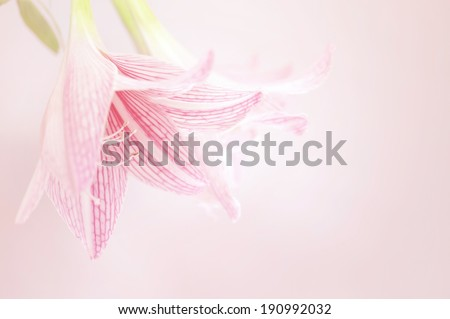pink lily flower soft background    - stock photo