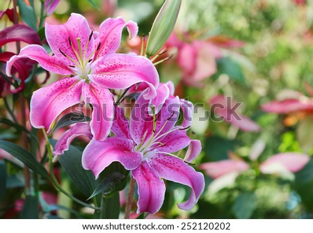 Pink lily in flower garden and bokeh background - stock photo