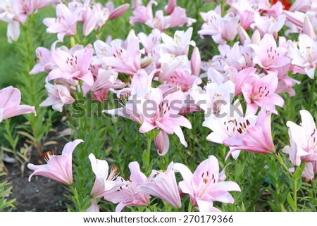 pink lily in flowerbed outdoor, Moscow, Russia - stock photo