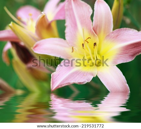 Pink lily (Lilium Acapulco) after the rain, selective focus on the stamens, macro. Photo improved by water with reflection - stock photo