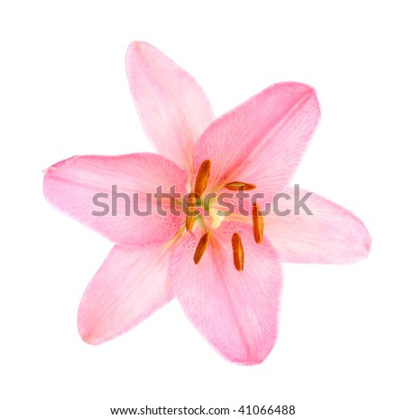 Pink lily on a white background, it is isolated. - stock photo