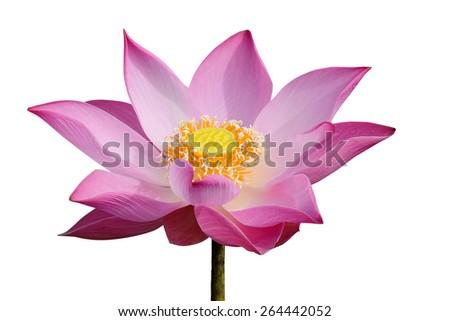 Pink Lotus blooming - stock photo