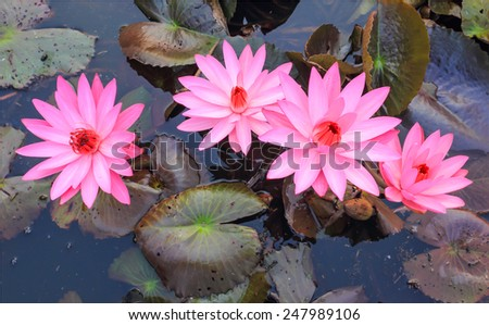 Pink lotus blooming in the morning - stock photo