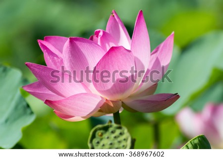 Pink lotus blossom in the garden.