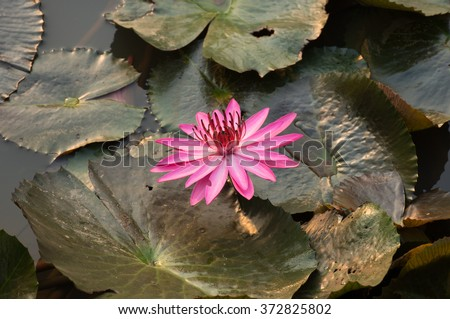 Pink lotus bud in a pond in rural areas, where natural beauty is perfect for a vacation.