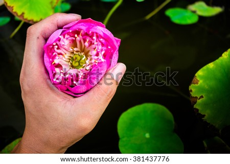 pink lotus catch hand. - stock photo