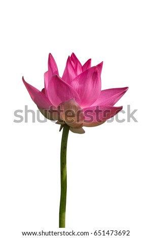 pink lotus flower are blooming isolate on white background with clipping path.