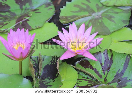 pink lotus flower blooming - stock photo