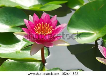 pink lotus flower blooming in garden - stock photo