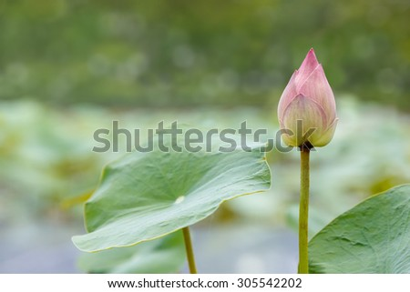 Pink Lotus flower blooming in pond on sunny day with blur bokeh background - stock photo