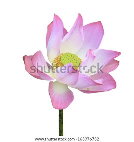 pink lotus flower blooming isolated on white background with clipping path