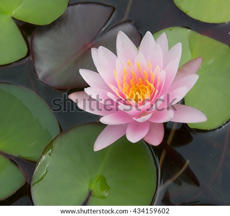 Pink lotus flower blossoming