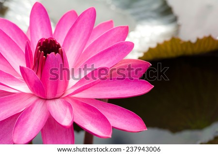Pink lotus flower on pond - stock photo