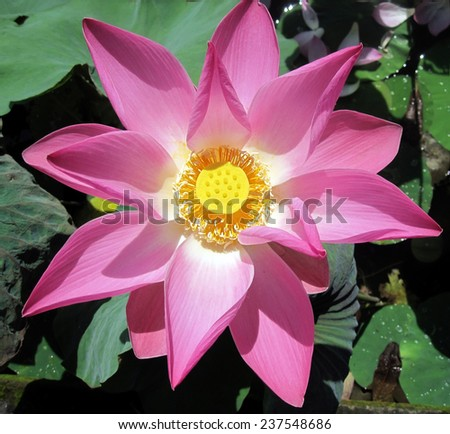 Pink lotus flowerwith yellow center in pond - stock photo