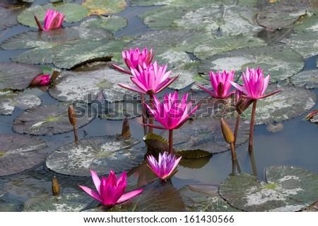Pink lotus in a lake - stock photo
