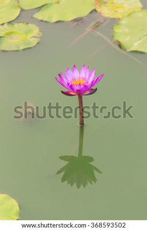 Pink lotus in a pond - stock photo
