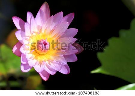 pink lotus in sunshine after hard raining - stock photo