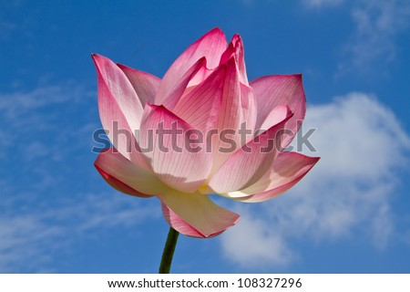 Pink lotus on blue sky background