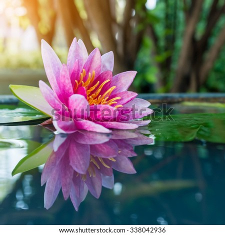 pink lotus or waterlily in pond