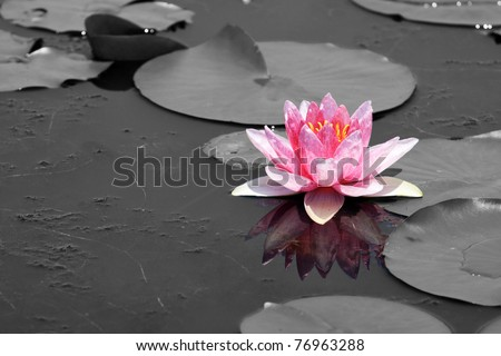 Pink Lotus (Water Lily) - stock photo