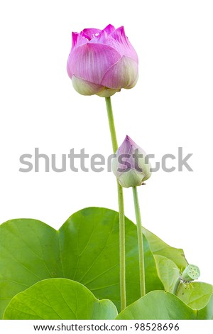 pink lotus with green leaf - stock photo
