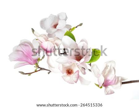 pink magnolia flower isolated on white background  - stock photo