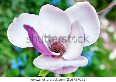 Pink magnolia flowers background  - stock photo
