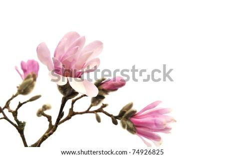 Pink magnolia flowers isolated on white background - stock photo