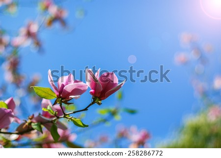 Pink magnolia tree blossom and the blue sky - stock photo