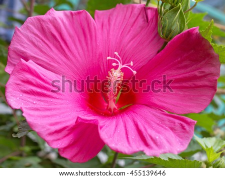 Pink mallow flower - stock photo
