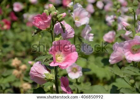 Pink mallow flowers field - stock photo