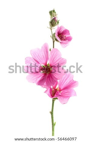 Pink malva flowers, isolated on white - stock photo