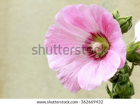 Pink malva Silvestris. Mallow - stock photo