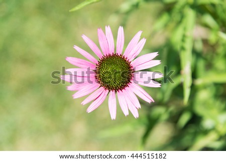 Pink Marguerite focus, top view - stock photo