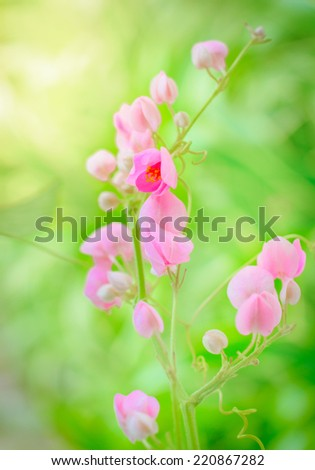 Pink mexican creeper on green leaf background