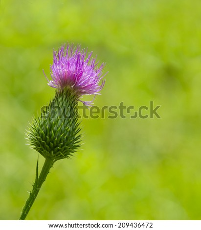 pink milk thistle flower in bloom in spring - stock photo